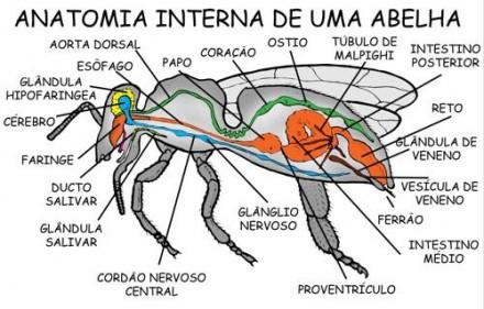 Abelhas-anatomia-interna