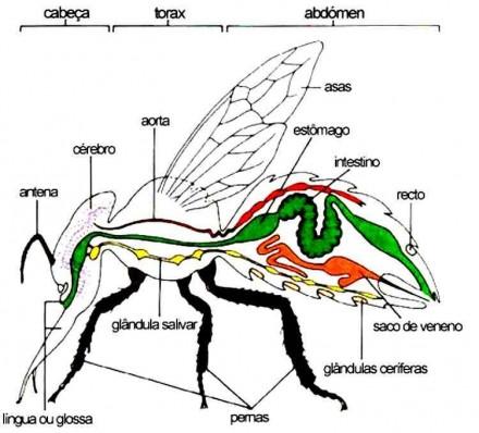 morfologia-interna